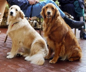 Golden_Retrievers-2-300x250@2x