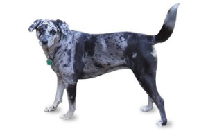 max_400_catahoula-leopard-dog