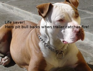 pit-bull-hero